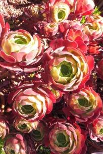 26 Succulent