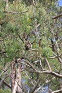 8 Scratching Koala