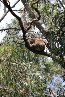 9 Balancing Koala