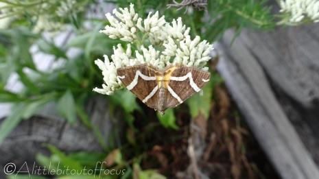 15 Moth