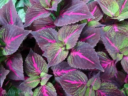 15 Variegated leaves