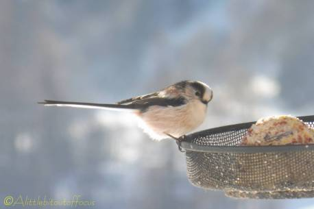 2 Long Tailed Tit