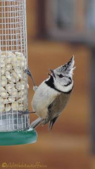 3 Crested Tit