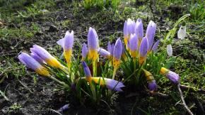 32 Spring crocuses