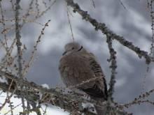 4 Collared Dove