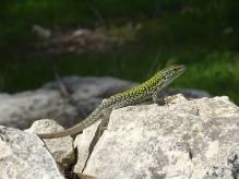 10 Wall Lizard