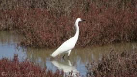 11 Egret