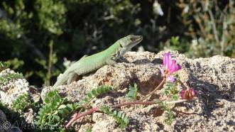 13 Green lizard