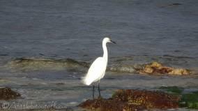 18 Little Egret