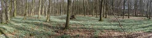 4 Snowdrop wood