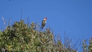 5 Goldfinch