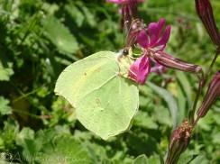 7 Cleopatra (male) butterfly