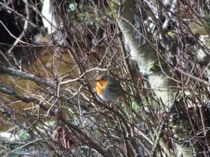 8 Robin