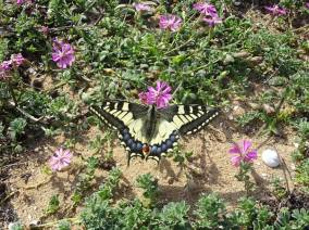 8 Swallowtail