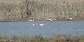9 Flamingos in flight