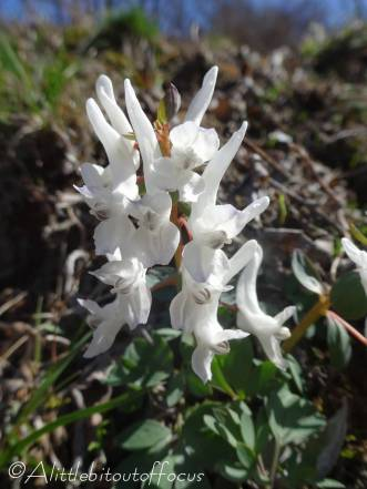 17 White Corydalis
