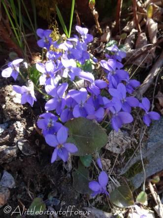 18 Violets (I think)