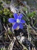 24 Blue Hepatica