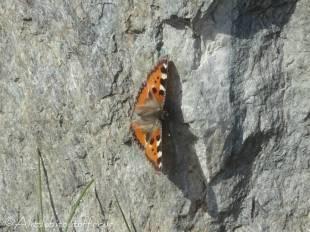 24 Tortoiseshell butterfly