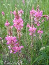 32 Mountain Sainfoin