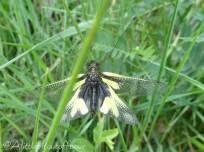 33 Libelloides coccajus