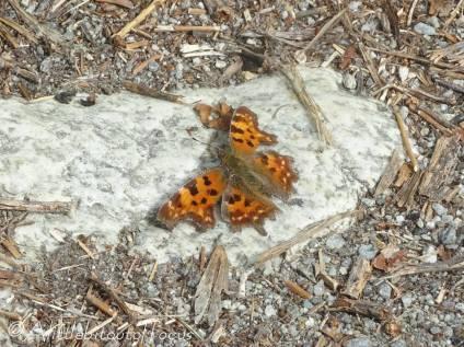 36 Comma butterfly