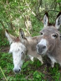 39 Curious donkeys