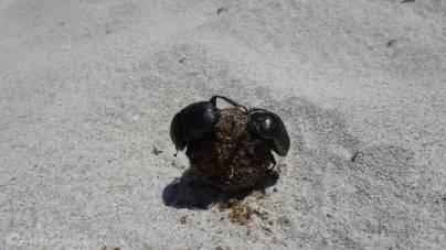 12 Dung beetles
