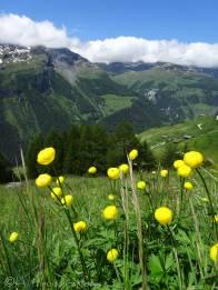 12 Globeflowers