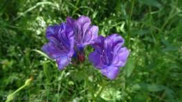 14 Viper's-bugloss (Echium vulgare)
