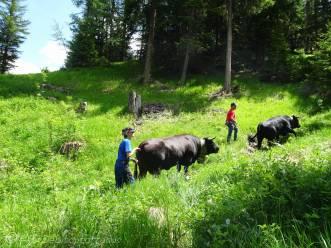 14 Wayward cows