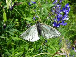 15 Black-veined White