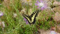 15 Common Swallowtail