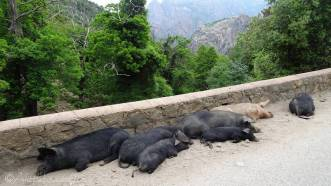 15 Pigs by the road