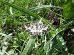 19 White-banded black moth