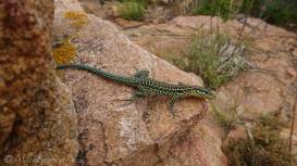 20 Common Green lizard