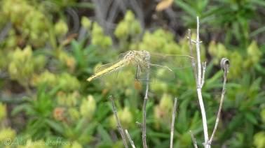 24 Dragonfly