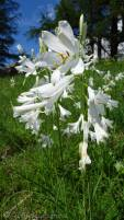 27 St Bruno's Lily