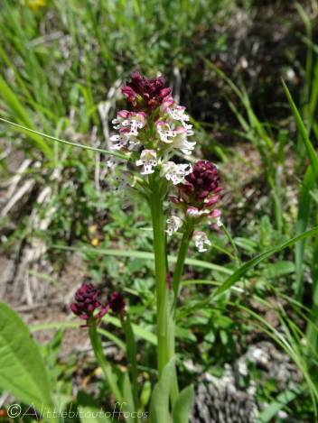 3 Burnt Orchid