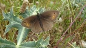 3 Meadow Brown