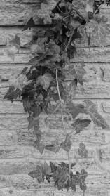 4 Ivy