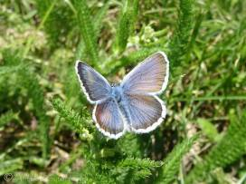 4 Silver-studded Blue