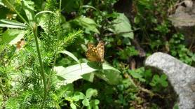 4 Speckled Wood