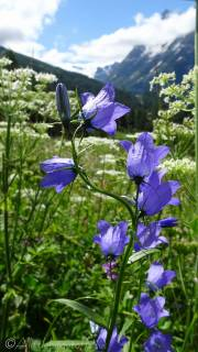 5 Bellflowers