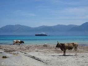 5 Cows on the beach