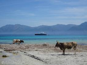 5 Cows on the beach