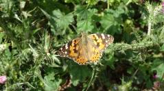 5 Painted Lady