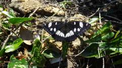 6 Southern White Admiral