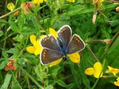 Common Blue female (Polyommatus icarus)