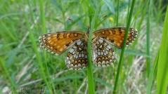 False Heath Fritillary (Melitaea diamina) underside